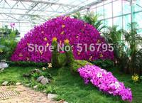 5 Colors Orchid Butterfly Flower Seeds Phalaenopsis amabilis 10pcs/color  50 pcs/lot  flower pots planters