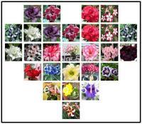 Free Shipping Adenium obesum Desert Rose  Bonsai Polyphyll  Flower Seeds 25pcs  mixed package quality assured home garden supply