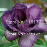 20 pcs Bonsai Purple Polyphyll Flower Desert Rose Double Adenium Obesum Seeds Home Garden Bonsai Flower Seeds Free Shpping