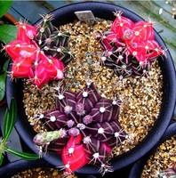 50 SEEDS - Rare Purple Star Catus Seeds Bonsai Succulent Plant Seeds * Free Shipping