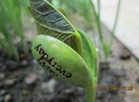 80pcs Magic Growing Message Beans Seeds Magic Bean White English Magic Bean Bonsai Green Home Decoration Hot Sale 2015