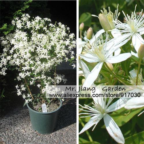 Clematis Terniflora Seeds Clematis Paniculata Seed 1