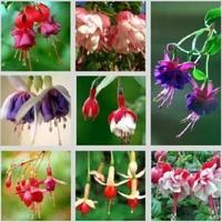 200 pcs/ bag Fuchsia flower seeds lantern flower indoor balcony bonsai seed flowers seeds