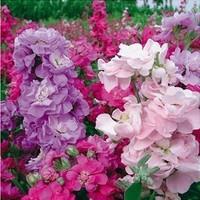 50pcs/lot Fragrant Violet Flower seeds Balcony POT FLOWER PLANT GARDEN BONSAI FLOWER SEED DIY HOME PLANT