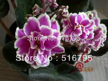 50PCS cor misturada Rose sementes fragrância a Violeta Jardim Suprimentos Varanda sementes de plantas, transporte livre(China (Mainland))