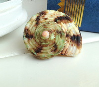 Free shipping Seashells pompilius green conch shell hermit crab natural