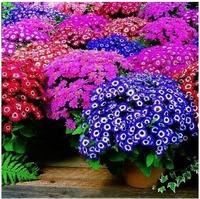 30pcs/bag Mixed Color Florists Cineraria Seeds for DIY Home Garden IZ0013  Wholesale