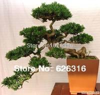 60pcs/lot Podocarpus tree seeds Yaccatree Tree Seed,  Evergreen Shrubs Potted Landscape GARDEN BONSAI TREE SEED DIY HOME PLANT