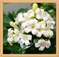 Fragrant Garden Plants , 100 Piece Flower Seeds, Murraya Paniculate Orange Jasmine Seeds ,Very Fragrant