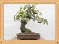 Mini Potted Fruit Plants , 30 Pcs/Bag (Wei Xian) Golden Pear Seeds , Bonsai Crystal Pear tree Seeds