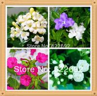 Potted Plants Beautiful Jasmine Flower,Jasmine Seeds 1 Lot 100 Piece , 4 Piece Variety , Each Of Variety 25 Piece
