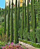 50 ITALIAN CYPRESS (Cupressus sempervirens )Tree Seeds,popular hardy garden plant, natural ~~~Free shipping!!