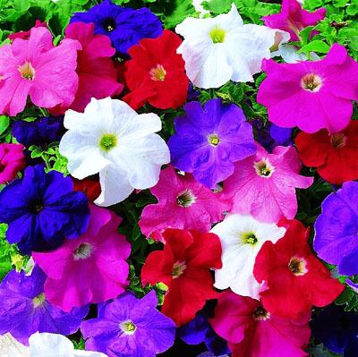 Minimum mix order $5.00 Flowers Garden Petunia Seeds, Original package 120 pieces Super easy grow Perennial plant petunias seeds(China (Mainland))