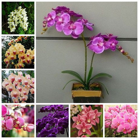 Flower pots planters Butterfly orchid seeds phalaenopsis orchids seeds Bonsai plants Seeds for home & garden 200 seeds/bag(China (Mainland))