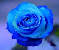 50 Pcs Rose Seeds Perenenials Blue Rose Seeds Rare Rose Flower Seeds New 2014 Flower Pots Planters Bonsai Seeds