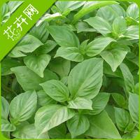 1 Pack 50 Seeds, Big Leaf Basil Herb Seeds Ocimum