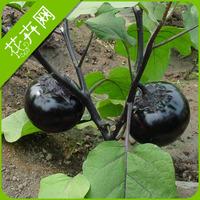 1 Packs 30 seeds, Round Eggplant Vegetable seeds
