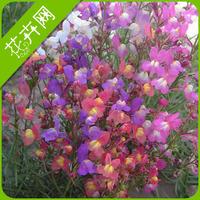 Butter seeds ratoon bonsai flowers 50 seeds 29 seeds