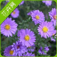 Dutch chrysanthemum seeds flower 30  seeds