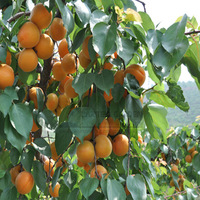 1 Professional  Pack, 20 Seeds/Pack, Taste Sour Sweet  Yellow Round Apricot Seeds, NON-GMO Edible Fruit Seeds Free Shipping
