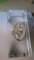 Wet Speicmen   Internal structure of the mollusk