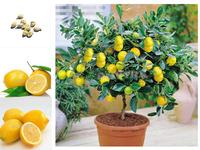Beautifying Courtyard Bonsai Fashion New Nolvel Plant Cheap Lemon Tree Seeds 20Pcs/lot