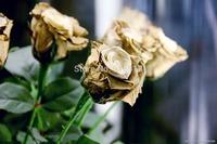 Free shipping Rare in the World Bonsai golden rose seeds  200Pcs flower seeds