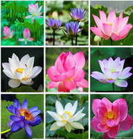 5pcs 8 kinds bowl Lotus seeds bonsai lotus flower plants water lily lotus seed Aquatic plants How to Plant home Garden