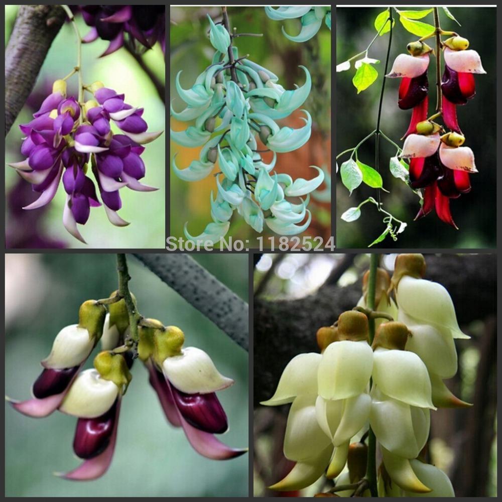 Frete grátis Mucuna birdwoodiana sementes 30pcs plantas Flores exóticas Pássaro Seeds Garden plantando sementes Flores Novel planta rara(China (Mainland))