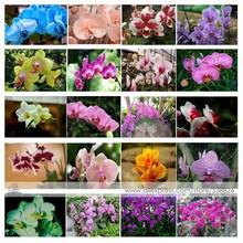 24 tipos perene orquídea Phalaenopsis sementes de flores 1 Professional Pack 100 Seeds / Pack Rare sementes de orquídeas borboleta #NF564(China (Mainland))