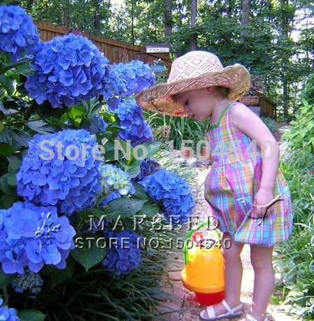 10 Blue Hydrangea Flower seeds,beautiful color ,wedding party flower plant(China (Mainland))