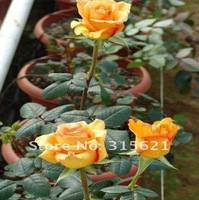 New Arrive Living Room Champagne Yellow Rose Seeds Home & Garden Bonsai Flower 100 pcs  Free Shipping