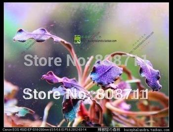 "Bucephalandra Sp. ""Brownie Ghost"" Kapuas Hulu West Kalimantan, live aquatic plants"