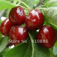 10  pcs big  cherry  tree Seeds DIY Home Garden