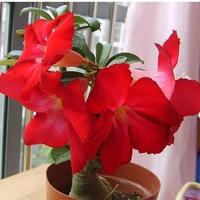 Red Adenium obesum  Desert Rose Seeds  Flower Seeds 20PCS Free Shipping