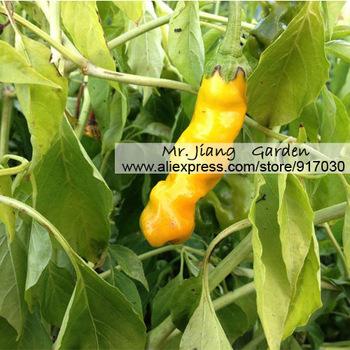 Peter Pepper ( Yellow ) Seed  * 1 Pack  ( 2 Seeds )  * Chilli Will * Penis Chill * Chilli * Vegetable *  Penis Pepper