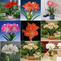 free shipping ,Bonsai plants amaryllis pure,2pcs