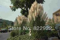 218 ORNAMENTAL PAMPAS PERENNIAL GRASS CORTADERIA SELLOANA FLOWER SEEDS TALL FEATHERY BLOOMS HOME GARDEN BACKYARD FREE SHIPPING
