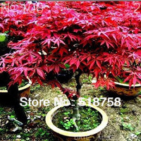 50pcs *100% Genuine Bonsai American Red Maple tree seeds mini plant seeds * Free Shipping