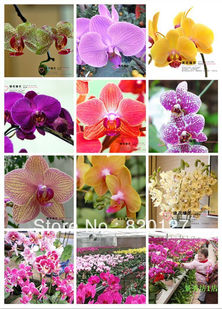 30 семена многоцветный Бабочка Моль Орхидея семена, 30 семена/много цветов удачные семена семена тыква волжская серая