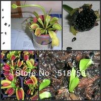 Free Shipping 500 SEEDS -  100% Genuine Dionaea muscipula Venus Flytrap Seeds