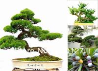 15 seeds Japanese Five-leaved Black Pine tree seeds,4 season green bonsai tree seeds, 2014 Autumn Fresh Seeds