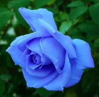 New Arrive 100 pcs Luck Blue Rose Seeds Flower Seeds For Home Gardenning Bonsai   Free Shipping
