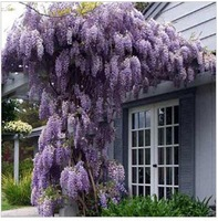Free shipping *  Hot selling Purple Wisteria Flower Seeds for DIY home garden 20pcs