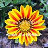 100pcs/lot  Gazania  Mixed Color Flower seeds POT FLOWER PLANT GARDEN BONSAI FLOWER SEED DIY HOME PLANT PEONY