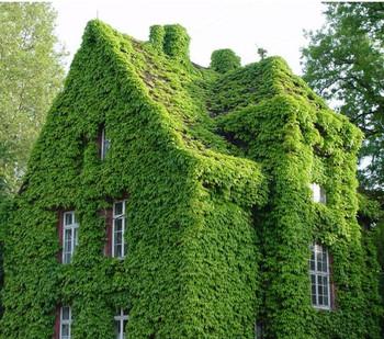 100pcs/lot Green Boston Ivy Seeds Home Gardening  Wholesale Drop Shipping, IZ0004