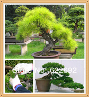 Millennium Plants ,20 Piece Five-Leaved Pine Tree Seeds Potted Landscape Japanese Five Needle Pine Bonsai Miniascape Seeds