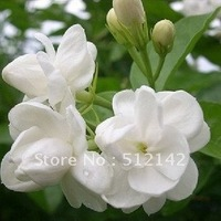 Jasmine Flower Seeds, 1 pack about 30 pieces , DIY Home and Garden.