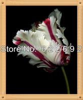 The first Love Of Sweet . 400 Piece Milkshake Rose Seeds . Mamal Rose Flower Seeds