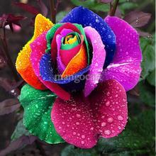 popular rose seed